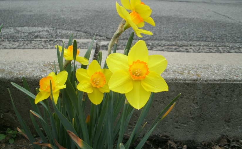 So Much Fun to Observe the Daffodil Varieties as I Drive About Town