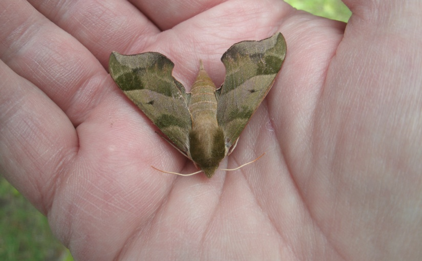 An Amazing Little Moth – Yet to Be Identified