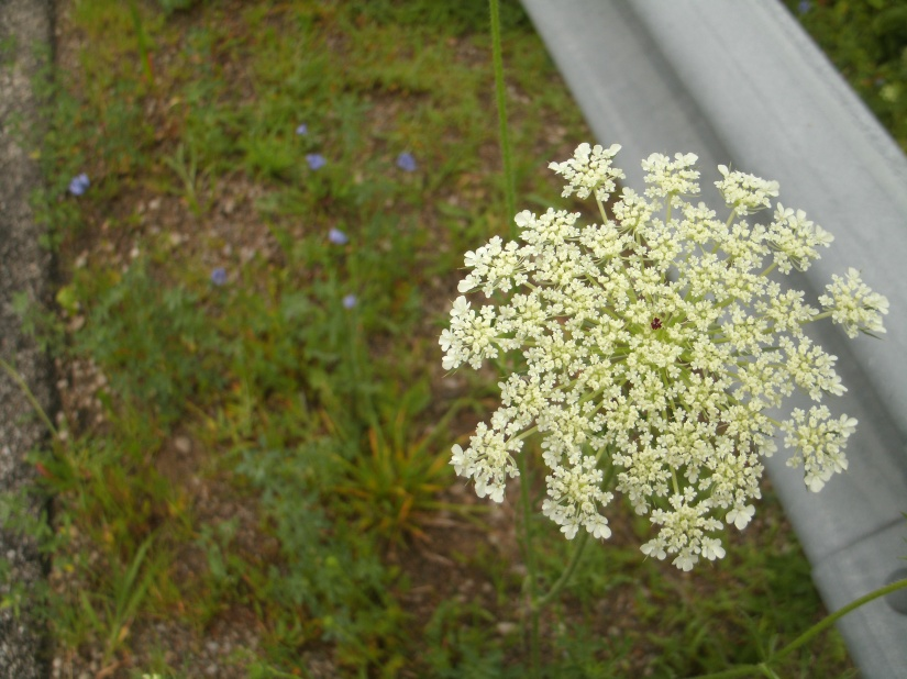 Queen Anne's Lace and Chicory – A Perfect Pairing