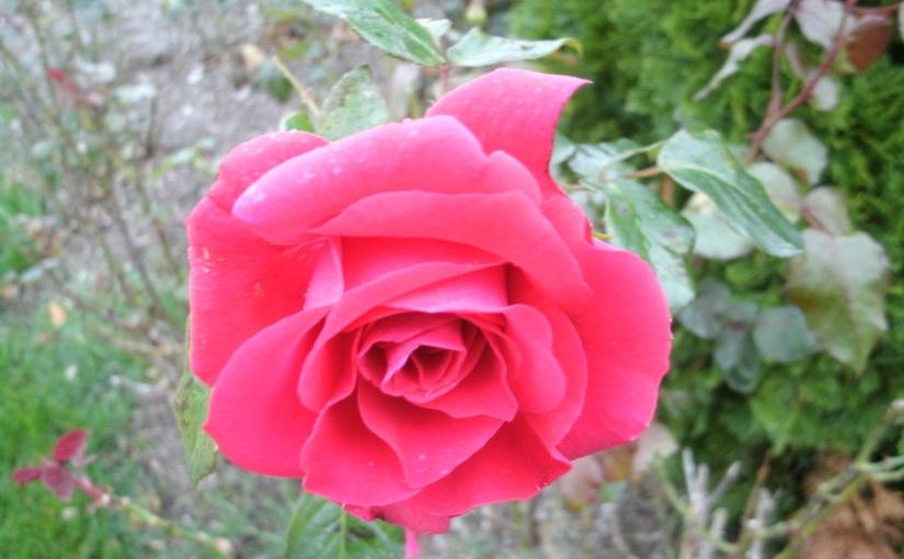 Roses at theBeach