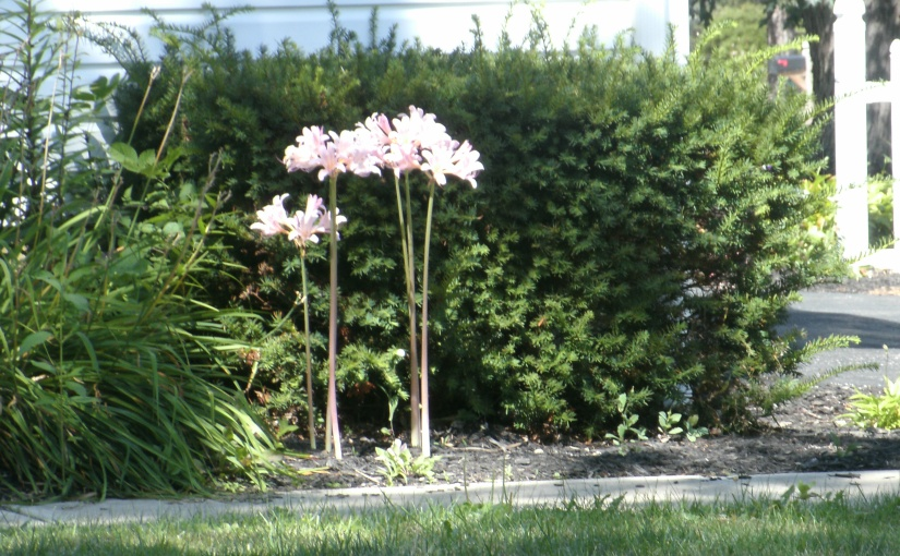 Resurrection Lilies – Gifts fromSpring