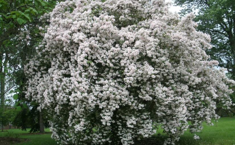 Beautybush – A Nostalgic Flowering Shrub that Sparks Memories of MyMother