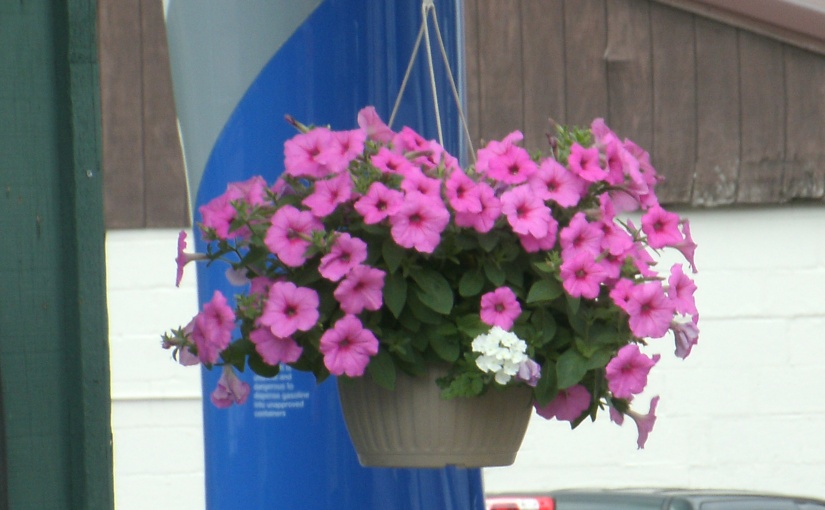 Lonely Little Verbena in a Petunia Basket