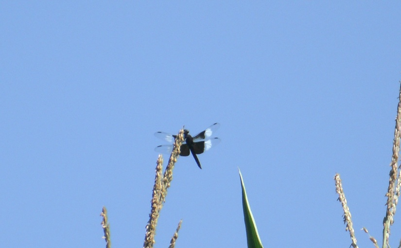 Double Dragonflies and Tasty RoastingEars