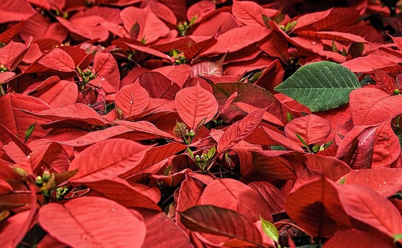 Poinsettias and Pets – Are These Prettiest of Christmas PlantsSafe?