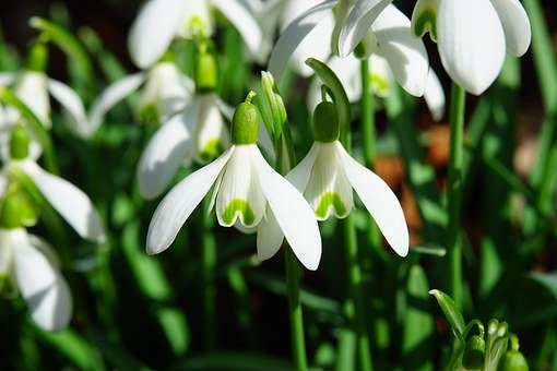 Snowdrops Peeked From Beneath the Coating of White LastWeekend